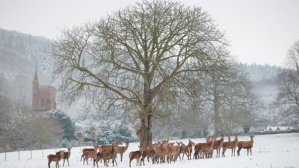 St Audries Park - Deer