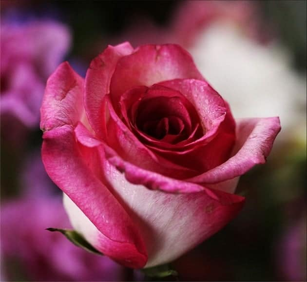 A close up of a pink rose